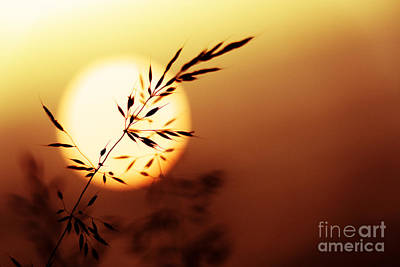 English Countryside Photograph - Sunset Grass by Tim Gainey
