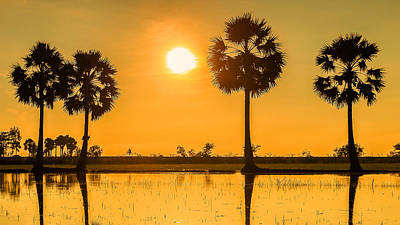 sunset or sunrise with silhouettes of palm trees called Borassus flabellifer Vietnam Original by Son Tong Tran