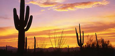 Sunset Saguaro Cactus Saguaro National Print by Panoramic Images