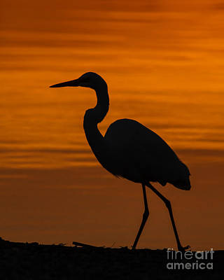 Great Heron Photograph - Sunset Stroll by Carl Jackson