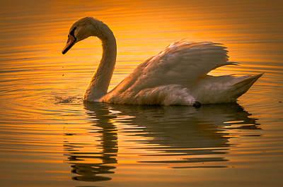 Sunset Swan Print by Brian Stevens