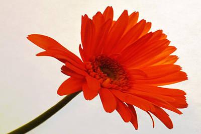 Sunburst Floral Still Life Photograph - Sunset Zinnia by Sherry Allen