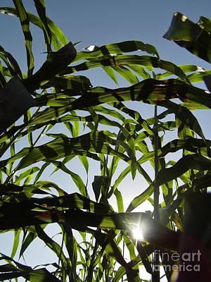 Sunshine In The Corn Field Print by D Hackett