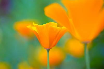 Sunshine Poppy Print by Sarah-fiona  Helme