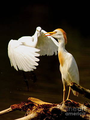 Suprised Cattle Egret Print by Robert Frederick