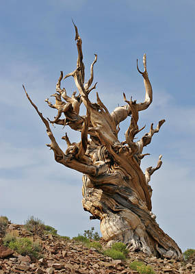 Survival Expert Bristlecone Pine Print by Christine Till