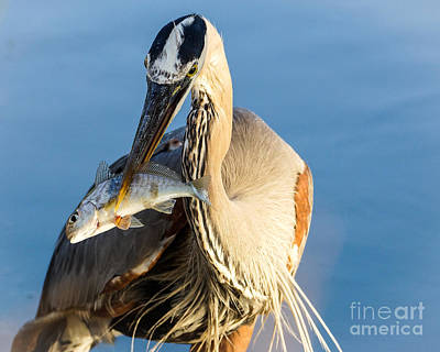 Great Heron Photograph - Sushi by Matthew Trudeau