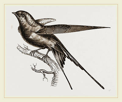 Swallow Drawing - Swallow Of Palestine by Litz Collection