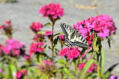 Swallow Tail Print by Dave Woodbridge