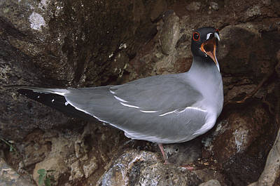 Swallow Chicks Photograph - Swallow-tailed Gull And Chick Calling by Tui De Roy