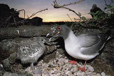 Swallow Chicks Photograph - Swallow-tailed Gull And Chick In Pebble by Tui De Roy