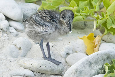 Swallow Photograph - Swallow-tailed Gull Chick by William H. Mullins