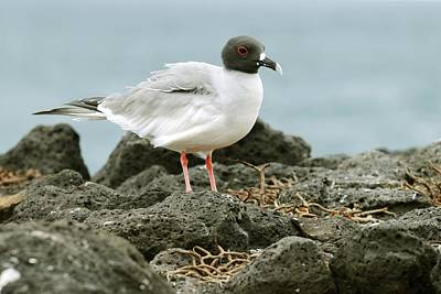 Swallow Photograph - Swallow-tailed Gull by Science Photo Library