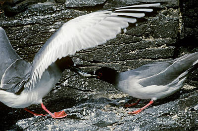 Swallow Photograph - Swallow-tailed Gulls by Art Wolfe