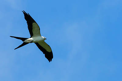 Swallow Tail Photograph - Swallow-tailed Kite In Flight by Maresa Pryor