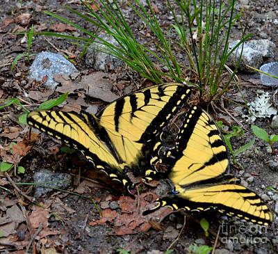 Swallowtail Butterfly Couple Print by Eva Thomas