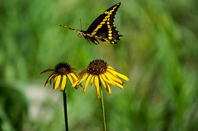 Butterfly In Motion Photograph - Swallowtail Butterfly by Janet Strief