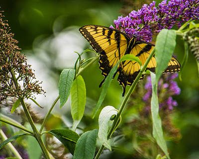Swallowtail Photograph - Swallowtail Butterfly by Jon Woodhams