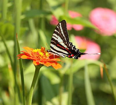 Zinnias Photograph - Swallowtail Butterfly by Kim Hojnacki