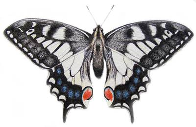 Insects Drawing - Swallowtail by Ele Grafton