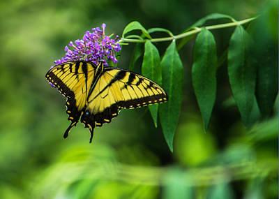 Botanic Photograph - Swallowtail II by Jon Woodhams