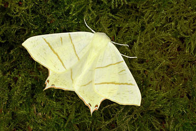 Swallow Tail Photograph - Swallowtail Moth by Nigel Downer