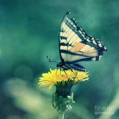 Blue Swallowtail Photograph - Swallowtail by Priska Wettstein