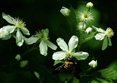 Swamp Rose With Carpenter Bee Print by Rebecca Sherman