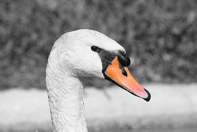 Birds Photograph - Swan Closeup by Shane Bechler