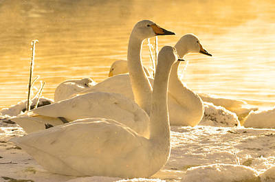 Swan Lake Original by Toppart Sweden
