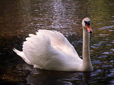 Bird Photograph - Swan Pose by Rona Black