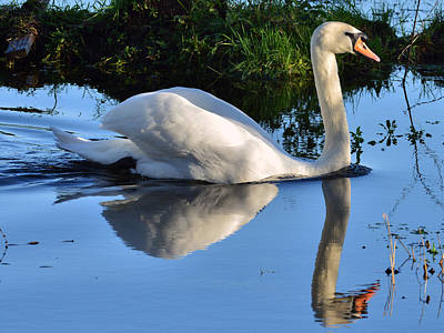 Swan Reflection Print by Barry Goble