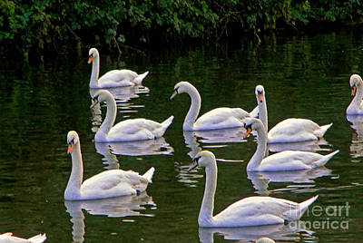 Photograph - Swan School In Colour by Richard Morris
