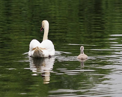 Swan Photograph - Swan Song by Rona Black