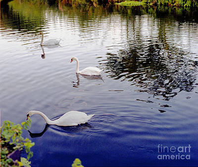 Photograph - Swan's 3 In A Group. by Richard Morris