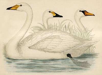 Swan Drawing - Swans by Beverley R Morris