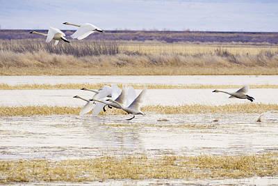 Bird Photograph - Swans In Flight by Priya Ghose