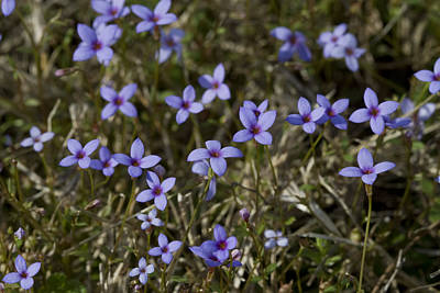 Sweet Alabama Tiny Bluet Wildflowers Print by Kathy Clark