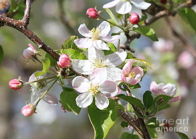 Sweet Apple Blossoms Print by Carol Groenen