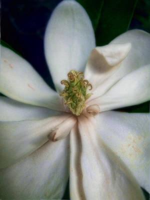 Magnolia Photograph - Sweet Bay Magnolia Bloom  #2 by Louise Kumpf