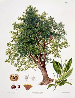 Vegetables Drawing - Sweet Chestnut by Johann Kautsky