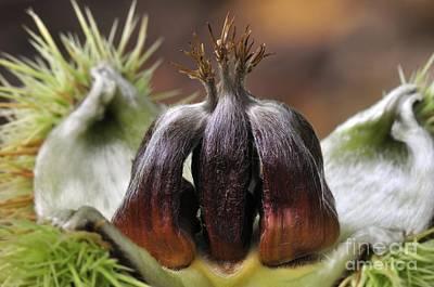 Sweet Chestnuts (castanea Sativa) Print by Colin Varndell