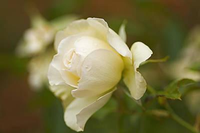 Sweet Home Rose Print by Nick  Boren