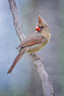 Sweet Little Lady Redbird Print by Bonnie Barry