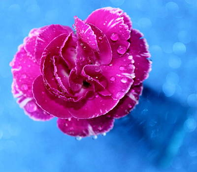 Pink Carnation Photograph - Sweet Love by Krissy Katsimbras