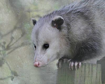 Opossum Photograph - Sweet Opossum by Angie Vogel