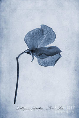 Isolated Digital Art - Sweet Pea Cyanotype by John Edwards