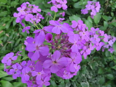 Sweet Smelling Damesrocket Wild Flower Original by Elisabeth Ann