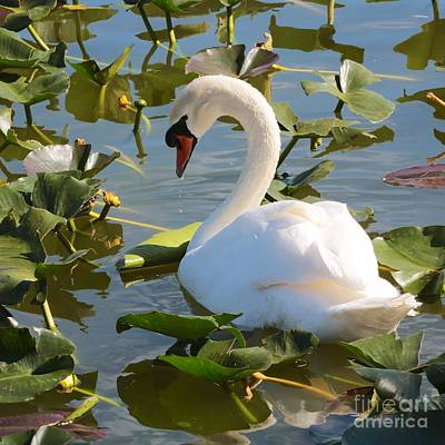 Florida Photograph - Sweet Swan by Carol Groenen