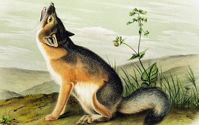 John Art Drawing - Swift Fox by John James Audubon